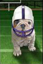 Bulldog in football helmet